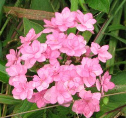 Image of a double pink flowered hydrangea