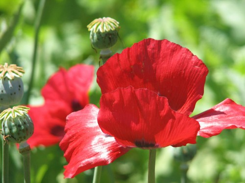 Image of fire engine red breadseed poppy