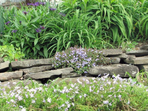 Veronica growing in a stone wall