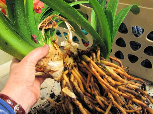 Unpotted clivia, showing offsets