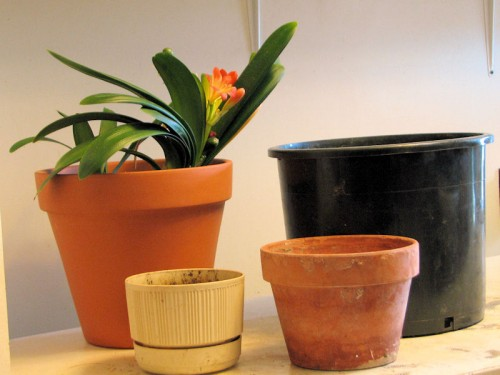 Clivia in a new clay pot