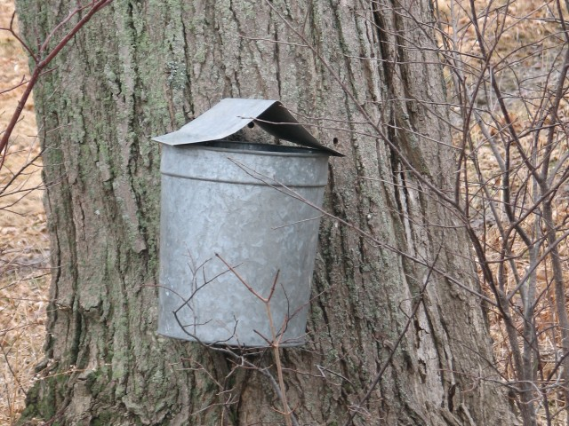mud season chores maple tapping