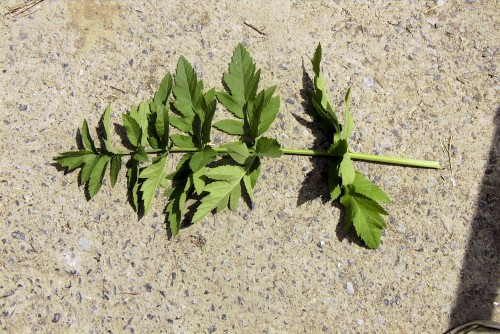 Juice or sap from the wild parsnip leaf will cause burns when exposed to sunlight.